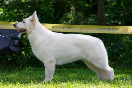 Baltic Beauty Crystal Siberian Wolf